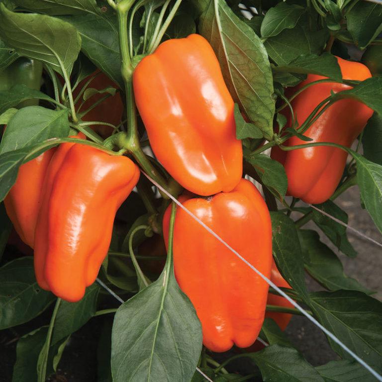 Семена перца чили для выращивания 207