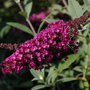 Butterfly Bush Buzz Series Lavender Midnight Velvet