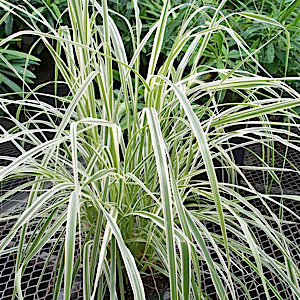 Annual Ornamental Grasses Annual and perennial ornamental grasses pennistetum sky rocket workwithnaturefo
