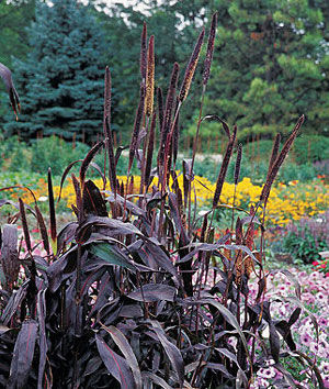 Annual Ornamental Grasses Annual and perennial ornamental grasses purple majesty millet workwithnaturefo