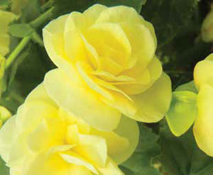 Solenia Begonias Flowers In Sun Or Shade