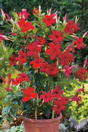 Mandevilla And Dipladenia